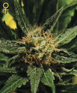 DIAMOND GIRL * GREEN HOUSE FEMINIZED