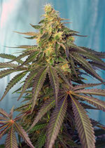 CREAM CARAMEL CBD ® * SWEET SEEDS FEMINIZED