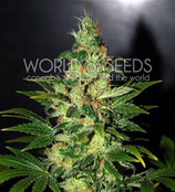 CHRONIC HAZE * WORLD OF SEEDS FEM