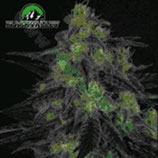 BLACKVALLEY * RIPPER SEEDS  FEM