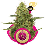 NORTHERN LIGHT - ROYAL QUEEN SEEDS - FEMMINIZZATA