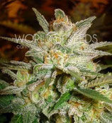 STAR 47 * WORLD OF SEEDS FEM