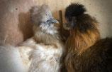 Oeufs poule Soie Barbue Perdrix Doré & Perdrix Doré Blanc