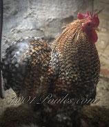 Oeufs poule Pékin Coucou Doré