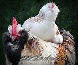 Oeufs poule Faverolles