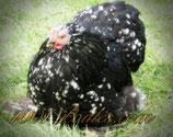 Oeufs poule Pékin Noir caillouté  Lisse & Frisé et noir porteur caillouté.