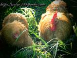 Oeufs poule Pékin Coucou Fauve / Fauve