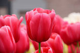 Tulips from Amsterdam = als Rit*ls