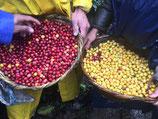 Nicaragua - Idealista Farm Rainforest Microlot