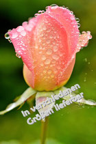 Rose im Herbst auf Leinwand oder Acryl