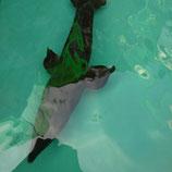 シベリアチョウザメ ヒレ曲がり 写真は見本! 発送サイズは160サイズ
