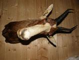 Blessbock Antilope Afrikatrophäe