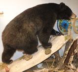 Schwarzbär Bär Präparat Kanada