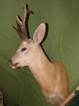 Sibirischer Rehbock  Kopfpräparat