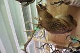Wapiti Kopf-Schulter-Präparat Kanada
