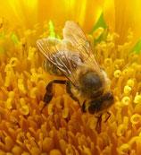 Sonnenblumenhonig cremig