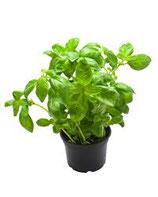 Basilic pot FRANCE