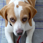 BARF-Plan erwachsener, gesunder Hund