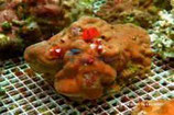 Porites spp /Multi Color Royal  L
