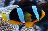 712127 Amphiprion clarkii