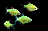 Barbus tetrazona Glo Fish HongKong (Барбус суматранский Гонг Конг Светящийся )  1,5-2 см.
