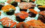Lobophyllia spp /Meat Brain Coral Red Culture M