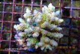 Acropora spp. (A. tenuis) /Acropora Tenuis Culture Strong Color M
