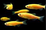 Brachidanio rerio sp. Yellow ( Данио Жёлтые) Glo-Fish
