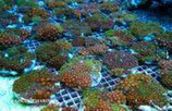 Zoanthus sp /Sand Polyps Long  Red Tentacle Green M