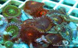 Zoanthus sp /Sand Polyps Big Eye Purple Tentacle Silver M