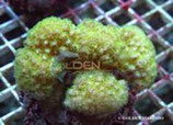 Pocillopora spp /Pocillopora Verrucosa Culture Strong Color M