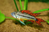 Apistogramma cacatuoides Double Red (Какаду двойная красная)