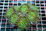 Euphyllia paraancora /Paraancora Green Pipe Celebes Culture M