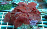 Discosoma sp /Mushrooms Red Java M