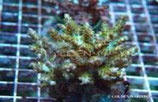 Acropora spp. (A. desalwii) /Acropora Desalwii Culture Strong ColorM