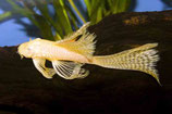 Аncistrus sp. Albino Long fin (Анциструс альбинос вуалевый)