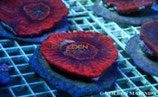 Australomussa rowyelensis /Meat Coral Flat Red Culture M