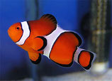 712146 Amphiprion ocellaris