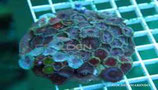 Zoanthus sp /Sand Polyps Big Eye Batik Tentacle Purple M