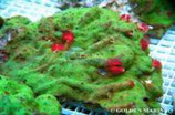 Porites spp /Multi Color Red M