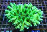 Acropora spp. (A. millepora) /Acropora Millepora Culture Strong Color M