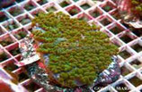 Physogyra lichtensteini /Pearl Coral Flat Green Culture M