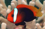 AM003 Amphiprion frenatus cultured