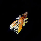 Hula Micro Craw (Brownpumpkin)