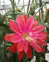Epiphyllium Sinaloa unrooted cutting