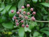 Hoya sp. Sulawesi GPS 8810 unrooted cutting