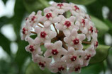 Hoya carnosa 'Crinkle 8' GPS 10038 unrooted cutting