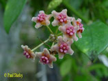 Hoya diversifolia el-nidicus GPS 10013 unrooted cutting