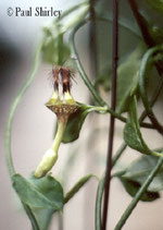 Ceropegia denticulata Field & Powys 201 ROOTED cutting