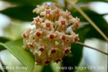 Hoya verticillata GPS 166 Bogor ROOTED cutting